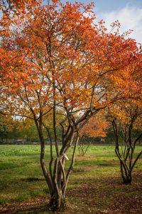 Amelanchier Lamarckii - meerstammige krentenboom in ziteiland