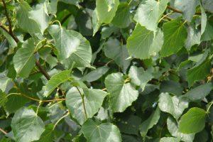 Tilia cordata Greenspire blad