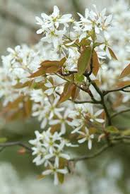 amlanchier blad
