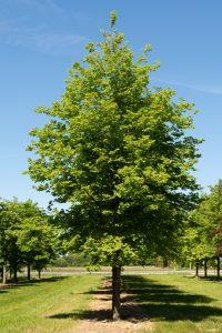 tilia-cordata-greenspire