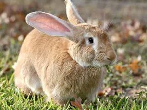 Foto van een lichtbruine Vlaamse Reus (konijn)