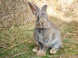 Foto van een grijs-bruine Vlaamse Reus (konijn)
